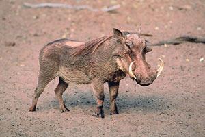 Кабан с длинной шерстью и гривой Африканские животные Дикие Животные МИР ФОТО.