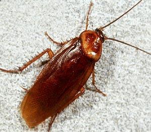 Тараканы - живучие создания, от которых часто