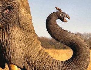 http://img.gazeta.ru/files2/2785700/elephantmouse.jpg