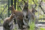 Пять кенгуру погибли в зоопарке Калининграда из-за нападения бродячих собак