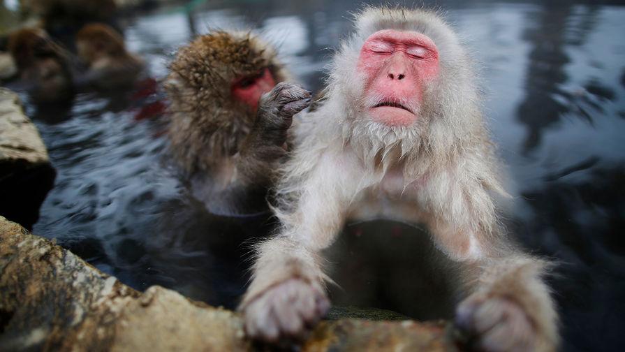 Ученые узнали , как японские макаки снимают стресс