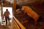 В Белоруссии крестьянам и фермерам запрещают содержать свиней, чтобы сохранить государственное свиноводство