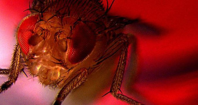Ученые заставили мушек-дрозофил получать удовольствие