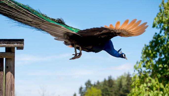 Американке запретили взять наборт самолета павлина, чтобы сражаться сострессом