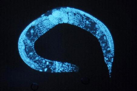 Малые дозы алкоголя вдвое продлевают жизнь круглых червей