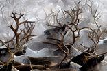 Изменение климата к 2080 году отрицательно скажется на численности и состоянии северных оленей
