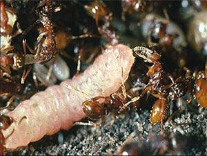 """...подражать  """"голосу """" муравьиной матки и теперь живёт припеваючи."""