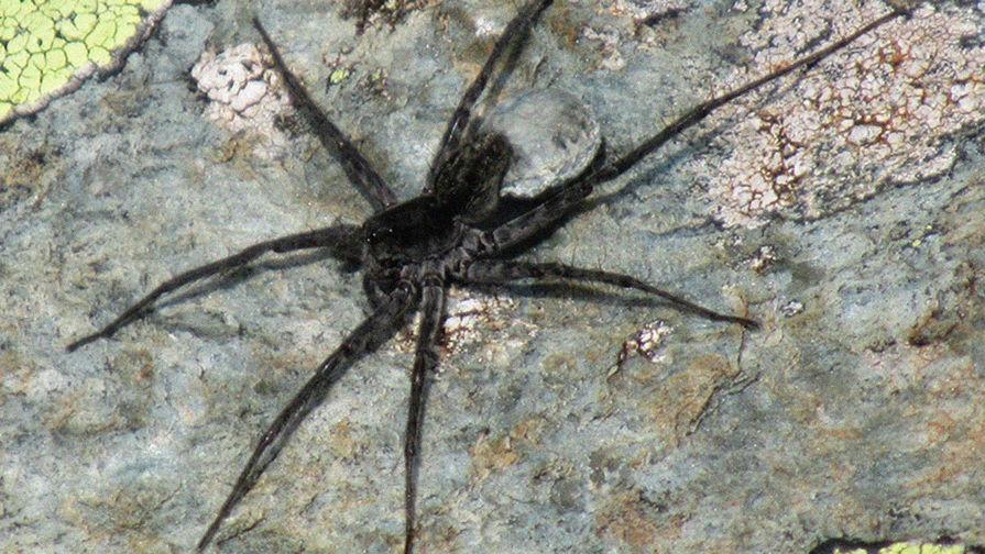 Новый вид паука обнаружили на Алтае