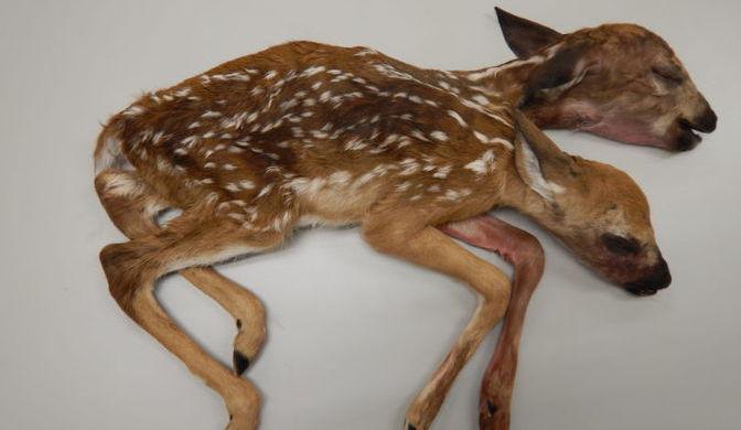 Труп двуглавого олененка отыскал грибник влесу США