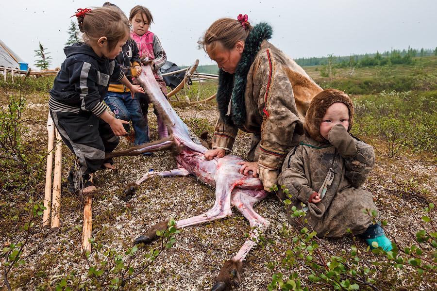 Стойбище оленеводов. Девушки с девочками снимают шкуру с олененка