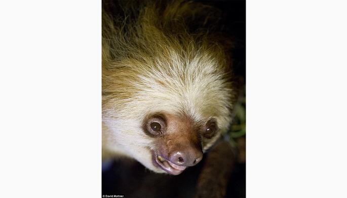 Самый старый вмире ленивец скончался вавстралийском зоопарке