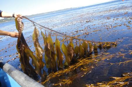 Биотопливо – этанол – можно эффективно получать из бурых водорослей