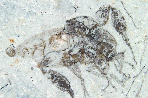 Самец и самка strashila incredibilis во время спаривания