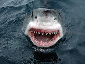 Пьяный серб утопил акулу