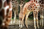«Если вы жираф и вас зовут Мариус, то пора делать ноги из Дании»