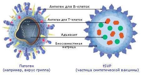 Схема аналогий строения природных патогенов инановакцины (Selecta)
