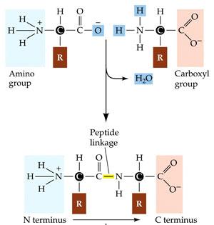 Натуральные пептиды, находящиеся в организме человека, сопротивляются возникновению неорганических образований...