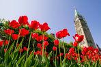 В столице Канады открылся один из крупнейших в мире фестиваль тюльпанов, на который ежегодно...