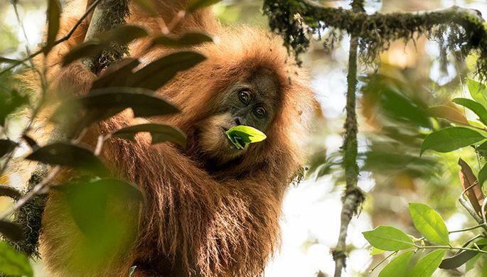 Скончался  самый старый вмире орангутан: рекордсмена книги Гиннеса довелось  усыпить