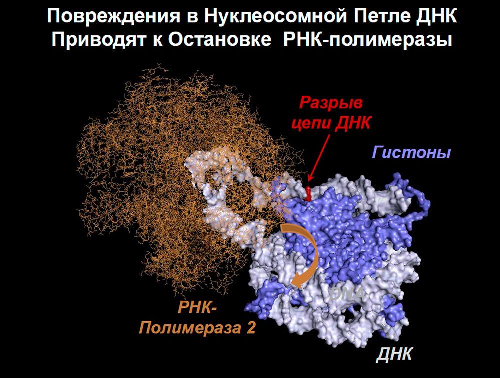 Предполагаемая структура нуклеосомной петли ДНК, которая временно образуется при транскрипции хроматина, содержащего неповрежденную ДНК, РНК-полимеразой 2. В присутствии разрыва в цепи ДНК, структура петли, вероятно, изменяется, предотвращая вращение РНК-полимеразы вдоль спирали ДНК (оранжевая стрелка). Картинка: Надежда Герасимова