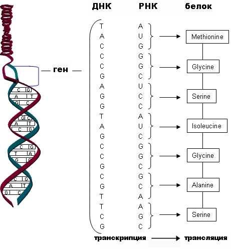 и трансляции ДНК