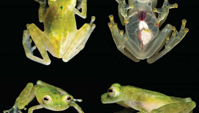 ВЭквадоре обнаружили особый вид «стеклянных лягушек» с бесцветной кожей