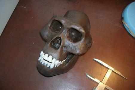 Австралопитек афарский (Australopithecus afarensis), череп AL 444-2, возраст находки 3 млн лет, Центральная Эфиопия. Фото: Станислав Дробышевский