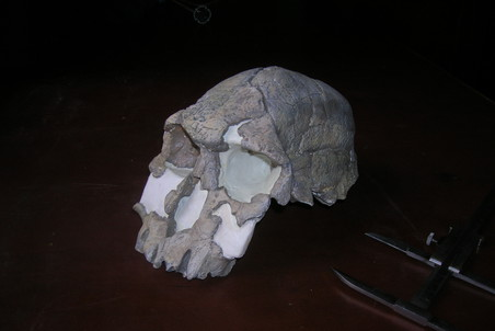Рудольфский человек (Homo rudolfensis), череп KNM-ER 1470, возраст находки 2 млн 30 тыс. лет, Кения. Фото: Станислав Дробышевский