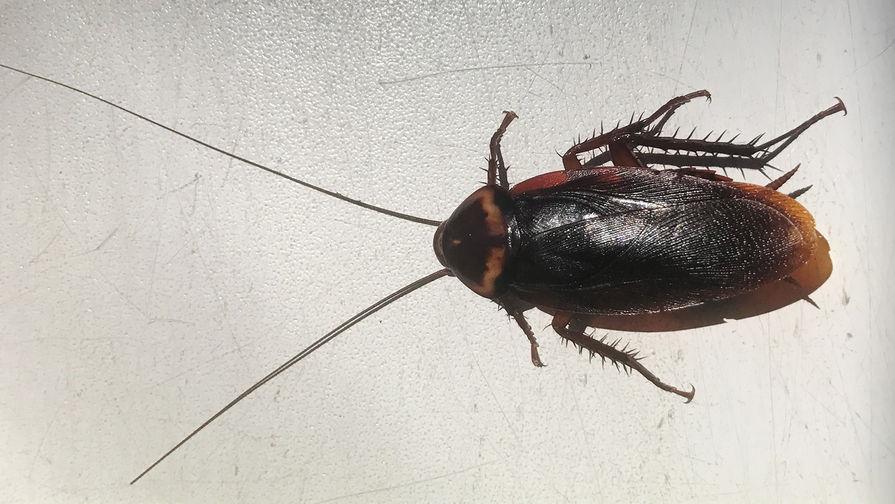 Самые большие летающие тараканы появились вСочи