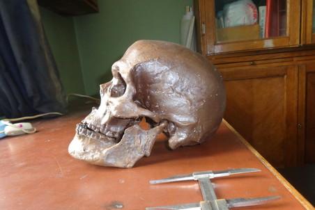 Человек разумный (Homo sapiens), череп Cунгирь 1, возраст находки 27 тыс. лет, г. Владимир, Россия. Фото: Станислав Дробышевский