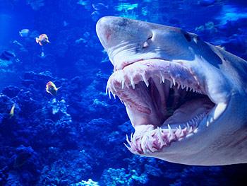 В Приморье случилось второе за сутки нападение акулы на человека.