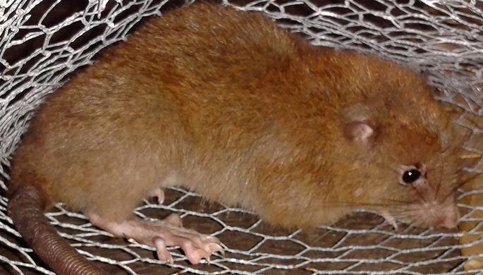 Ученые отыскали наСоломоновых островах гигансткую крысу, которую доэтого считали мифической