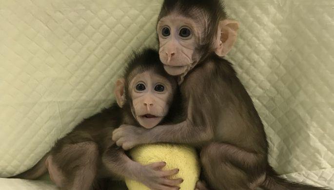 Китайцы впервые клонировали обезьян, как овечку Долли