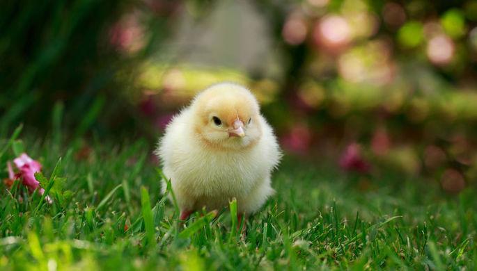 Цыплята извыброшенных насвалку яиц заполонили грузинский город