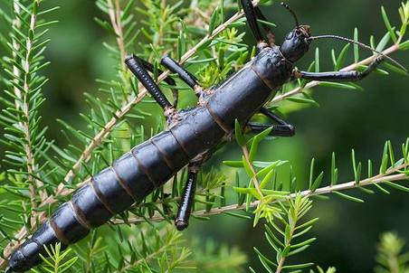 Вымершие 90 лет назад древесные лобстеры восстановлены в Мельбурнском зоопарке