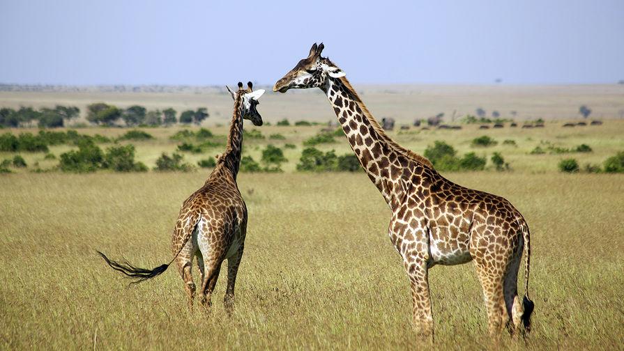 Откуда у жирафа длинная шея