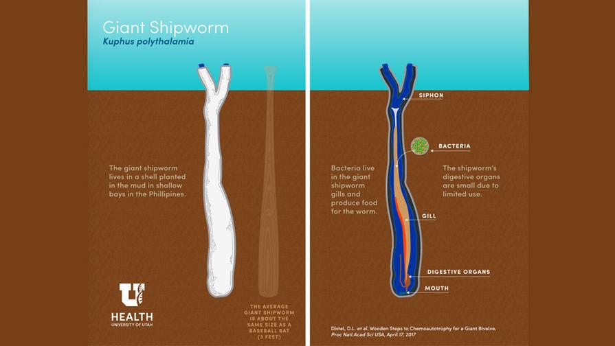 Гигантского моллюска-червя обнаружили наФилиппинах