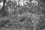 Tigers in Nepal have learned to coexist with humans
