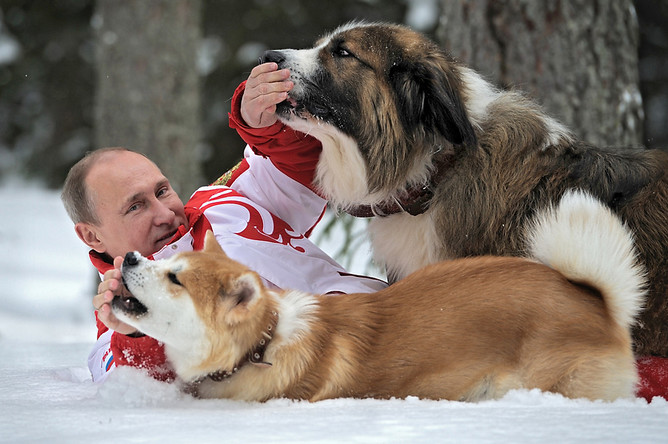 Япония подарит Путину щенка породы акита-ину