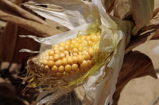 Из-за сильнейшей засухи в США дорожает кукуруза