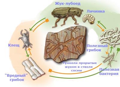 Клещи, питающиеся «вредным» грибком, попадают на новые деревья вместе с жуком-лубоедом, личинки которого питаются «полезным» грибком. «Полезные» бактерии продуцируют антимикотик мицангимицин, губительный для «вредных», но не для «полезных» грибков. //Zina Deretsky, National Science Foundation