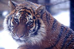 WCS reports the critical last fall on the Earth population of Amur tigers
