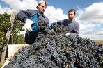 Крымские вина станут в перспективе конкурентами краснодарским
