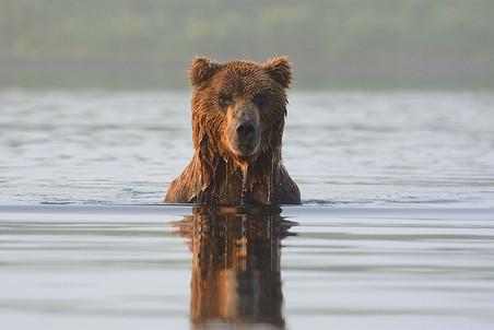 Медведь в реке Кроноцкая