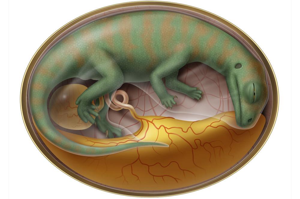 Картинки эмбриона - 0139f
