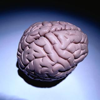 Человеческий мозг достиг физических пределов развития