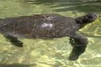 Плавник для черепахи-инвалида