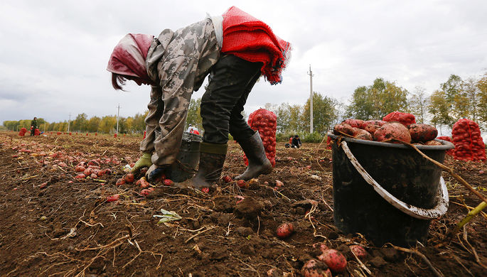 ВРФ упали показатели самообеспеченности картофелем
