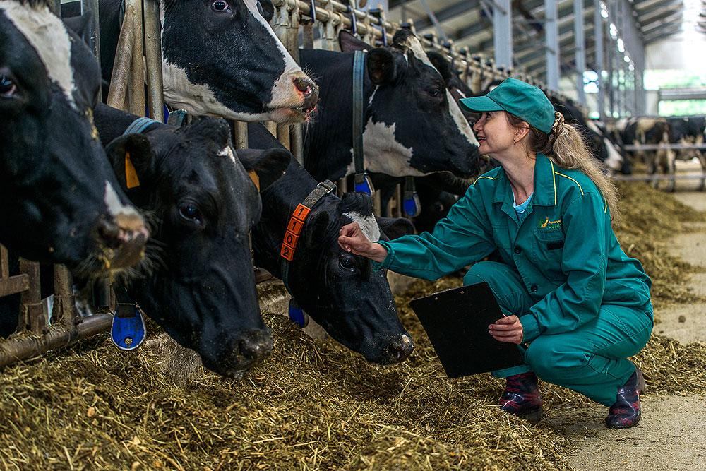 Молочно-товарная мегаферма «Кубани»
