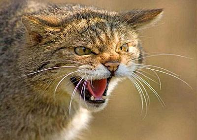 Создатель овечки Долли будет клонировать диких кошек